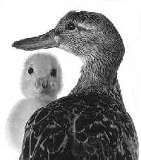 goose and child
